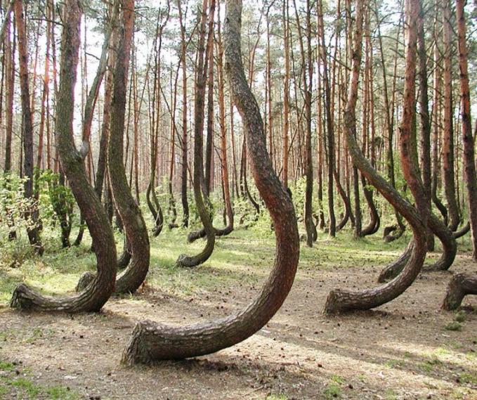 Sebuah hutan di Polandia yang memiliki tanaman pohon bengkok. Kok bisa ya?