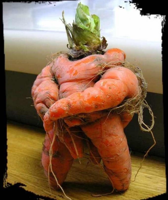 Cocok nih jadi bodyguard para sayur lainnya, badannya kekar banget.