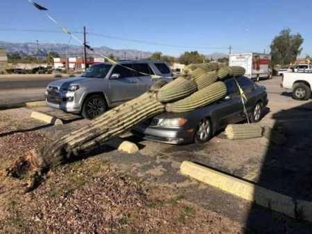 Bukan kaktus kecil, mainkan kaktus raksasa yang jatuh menimpa mobil ini.