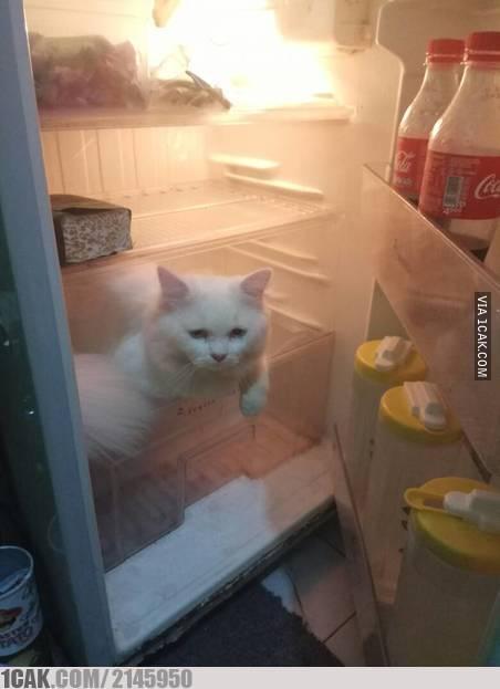 Kucing kegerahan dan ngadem di dalam kulkas. Sa ae nih kucing.