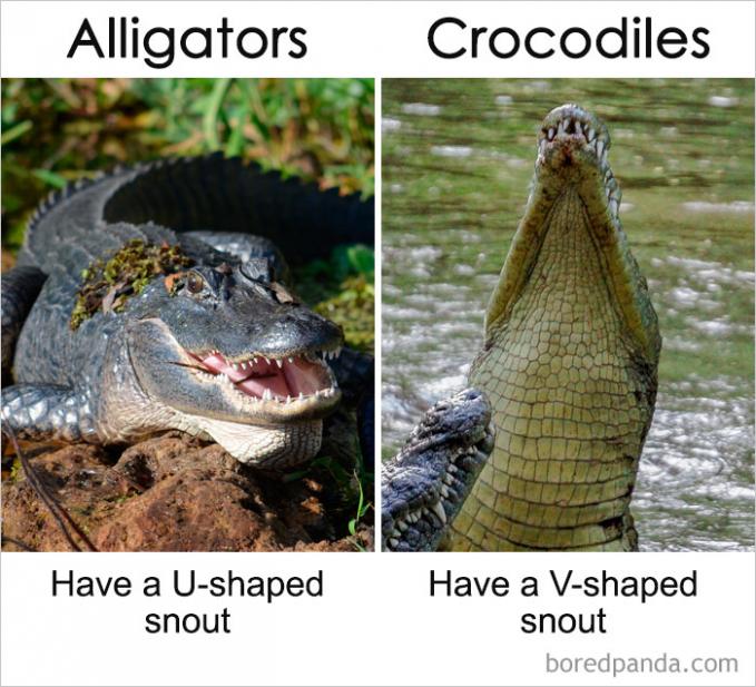Aligator dan crocodile memang bahasa inggris untuk buaya. Tapi keduanya beda Pulsker. Cirinya adalah jika aligator memiliki moncong berbentuk seperti huruf U sedangkan aligator cenderng berbentuk V.