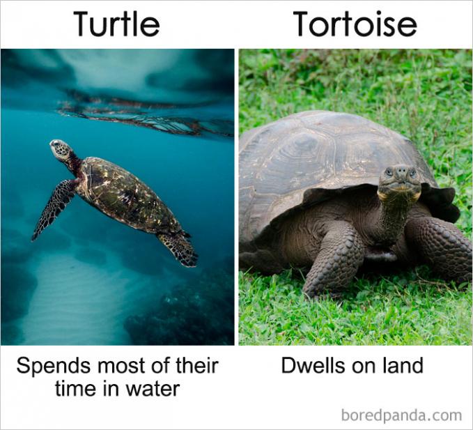 Dalam bahasa Inggris kita terkadang keliru mengartikan Turtles dan Tortoise. Jika dalam bahasa Indonesia, Turtles sebenarnya lebih cenderung ke penyu. Sedangkan tortoise inilah yang disebut kura-kura. Nah, itu dia perbedaan mendasar benda-benda di sekitar kita yang sekilas terlihat sama. Semoga menambah wawasan kita semua Pulsker