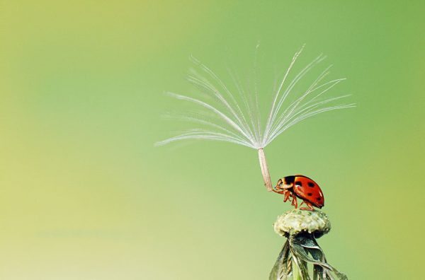 Padahal nggak ada hujan, si kumbangnya pakai gaya-gayaan segala pakai payung natural begini.