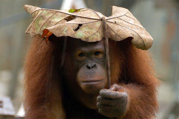 Ngeliat muka orang utannya jadi kasihan begitu ya kalau pakai payung pas lagi gerimis.