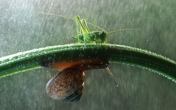 Belalangnya ngalah nih demi si siput biar bisa meneduh gengs.