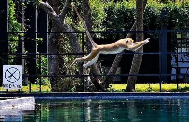 Mungkin si monyetnya lagi gerah banget dan nggak kuat sampai akhirnya dia pengen nyebur ke kolam.
