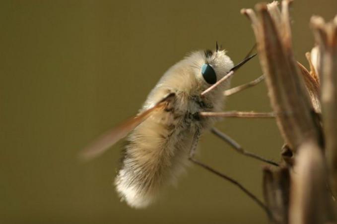 Nama serangga lucu ini adalah lalat lebah Pulsker yang berasal dari keluarga Bombyliidae. Walau secara teknis dirinya adalah lalat, tapi dari segi penampilan bahkan tingkah lakunya mirip lebah lho. Habitatnya hampir ada di seluruh dunia dalam beragam variasi.