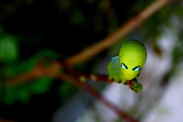 Ulat hijau yang ditemukan di Filipina ini cukup unik. Bagian depan kepalanya nampak seperti alien berwarna hijau. Nama imiahnya adalah Daphnis Nerii. Habitatnya biasa ditemukan di Afrika dan sebagian Asia.