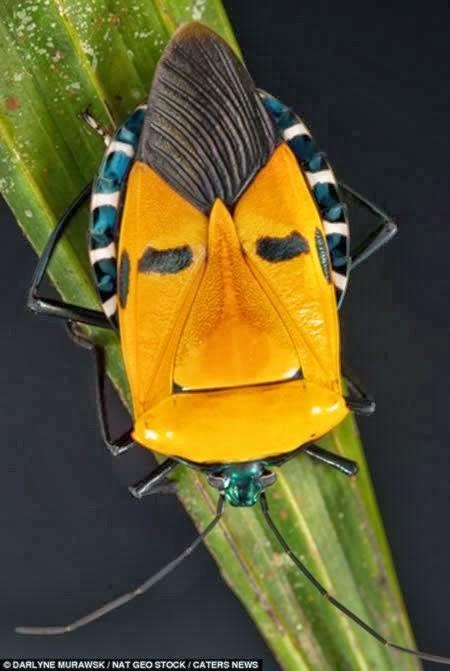 Saat berada di cagar alam Khao Chong, Thailand Darlyne Murawski melihat ada serangga aneh gengs. Bentuknya mirip sosok Bert dalam karakter animasi Sesame Street. Ada juga yang menyebutnya dengan serangga Elvis Presley. Mungkin karena jambulnya kali ya?. Unik bukan serangga-serangganya Pulsker?.