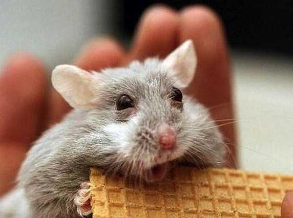 Nggak dimakan pengen, dimakan yang punya takut marah. Galau deh jadinya si hamster.