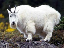 Si kambing gunung rupanya kaget banget tuh guys begitu tau dirinya lagi difoto sama seseorang.