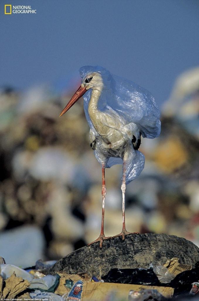 Tidak hanya bagi manusia saja, sampah plastik membahayakan bagi hewan maupun ekosistem laut lainnya. Seperti ikan dan burung-burung di pantai. Salah satunya yang dialami oleh burung ini.