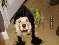 Kelucuan Anjing Peliharaan Kalau Dandan Pakai Rambut Palsu
