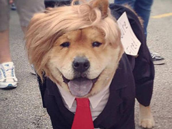 Anjing ini nggak hanya gaya rambutnya aja lho Pulsker, bahkan pakai jas didandani semirip mungkin dengan Trump.