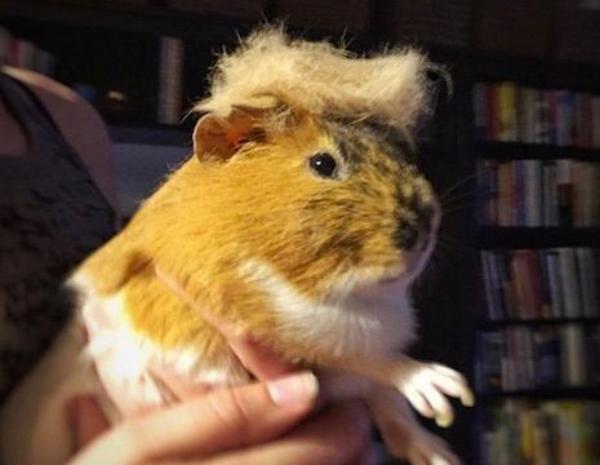 Makin unyu deh marmutnya kalau berdandan memakai rambut gaya Donald Trump, jadi pengen nyubit.