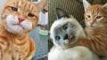 Benarkah Mitos Kucing Oren Punya Kekuatan Super, Lihat 12 Meme Kocaknya!